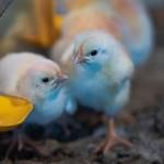 Pesquisa avançada a favor da avicultura