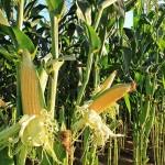 Cultivo de milho já se mostrou uma boa aposta em terras alagoanas