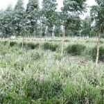 Cultura do eucalipto se desenvolve no Estado de Alagoas